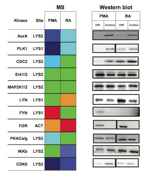 Comparisons of MS Results with Western Blots