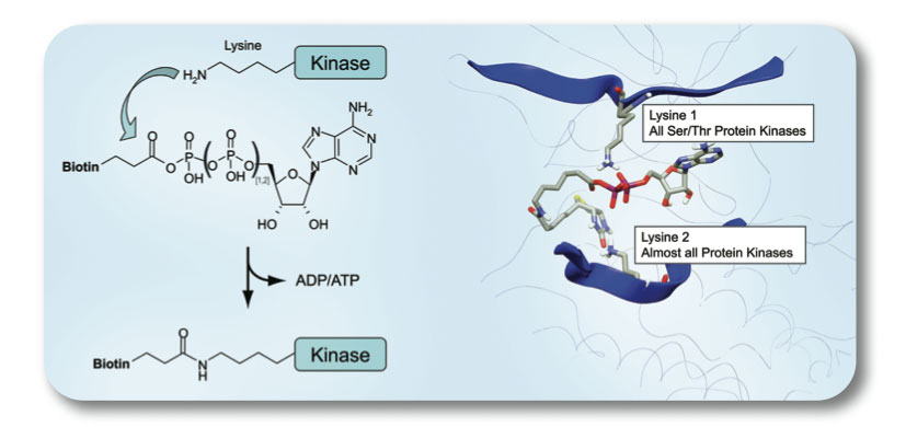 Chemical Probes for In Situ Kinase Profiling